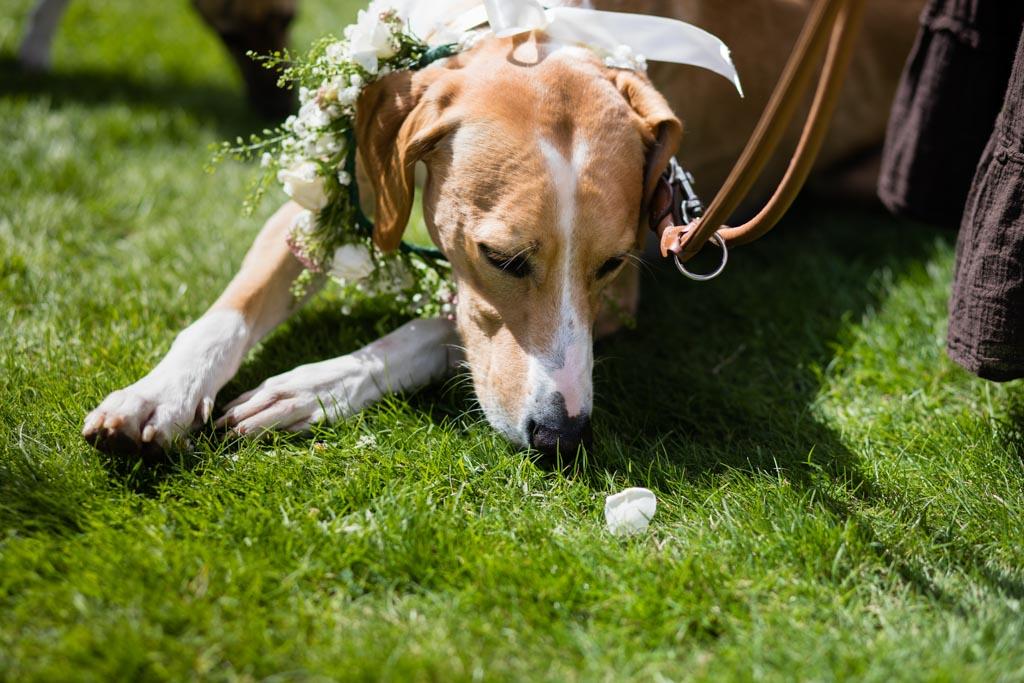 wedding dog sniffs petal