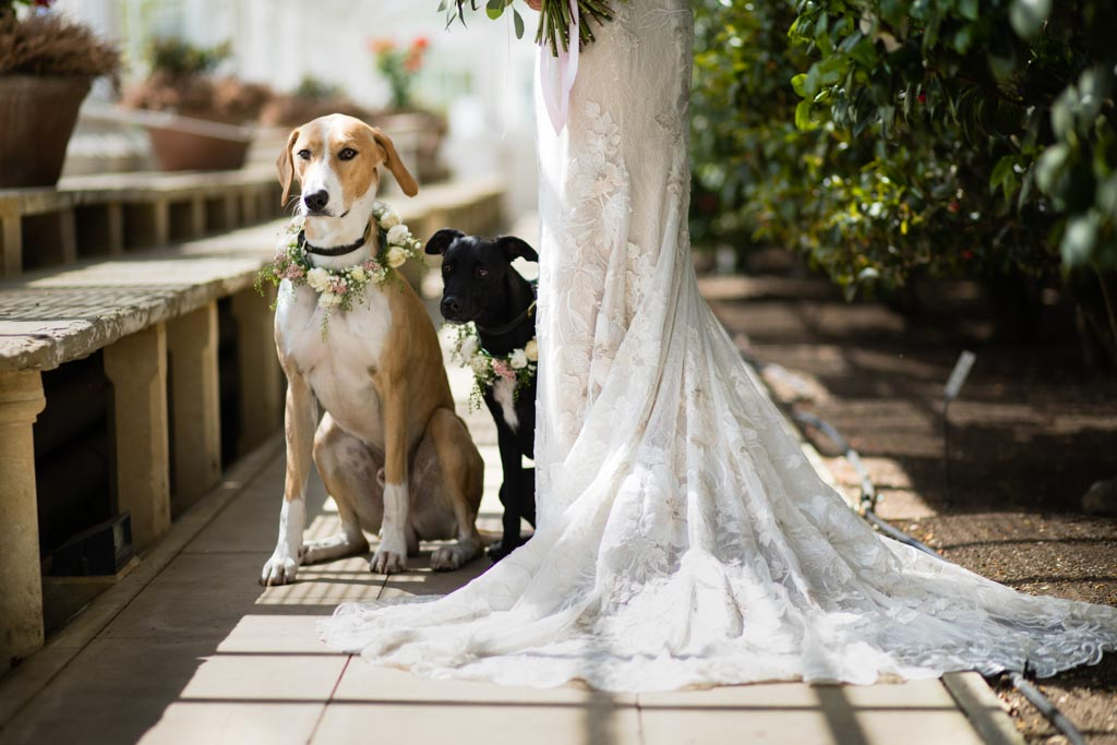 wedding dogs wearing floral collars portraits with bride in David Fielden dress