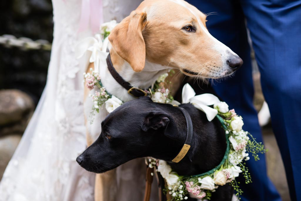 Picasso and Sherlock at their human's wedding